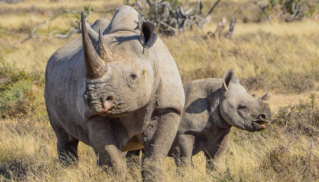 Rhinos in the wild in Africa